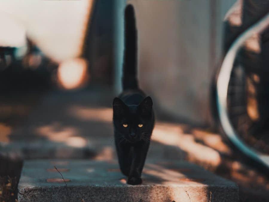 Arti ekor kucing
