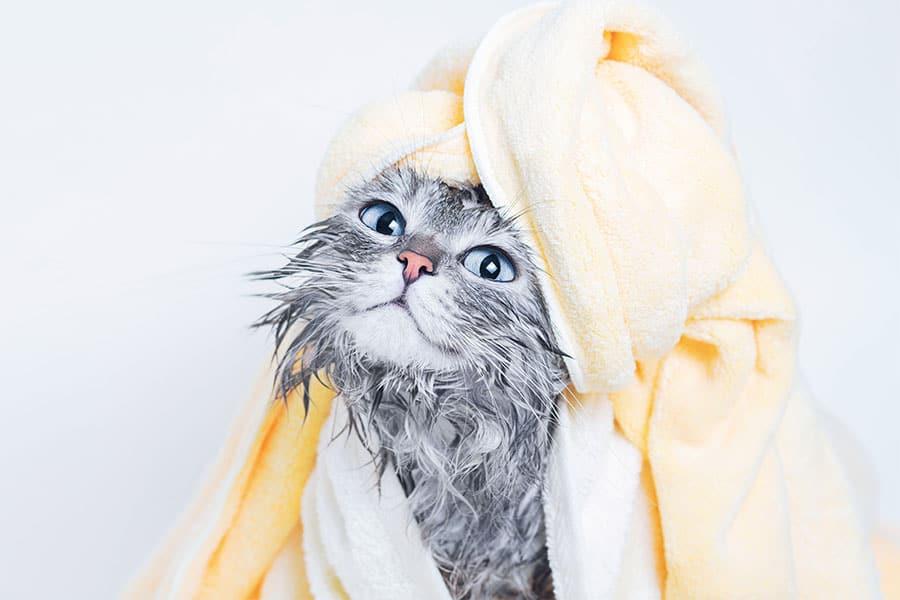 Cara mengeringkan kucing tanpa hairdryer dan blower