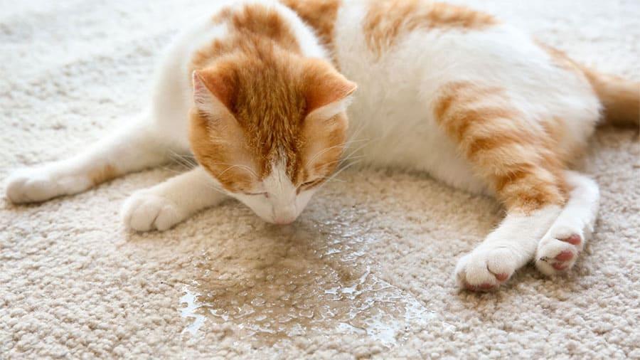 Cara menghilangkan bau kencing kucing