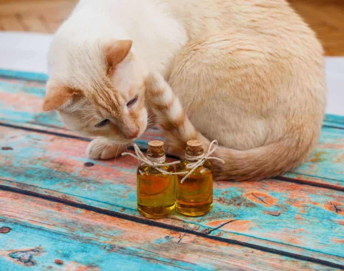 Minyak zaitun untuk kucing