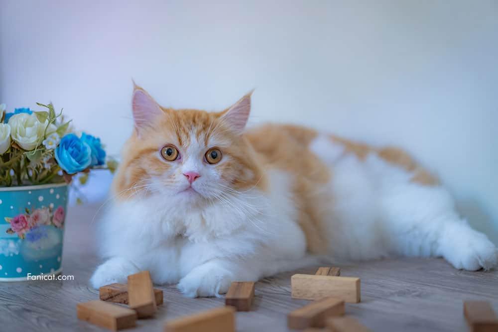 Foto kucing persia berbaring