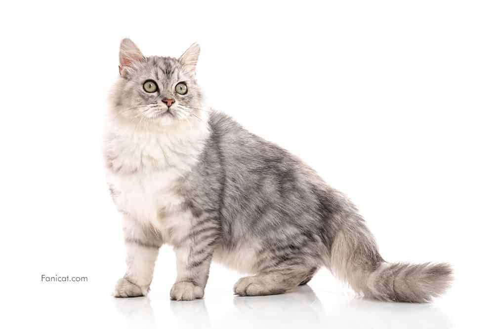 Foto kucing persia cakep