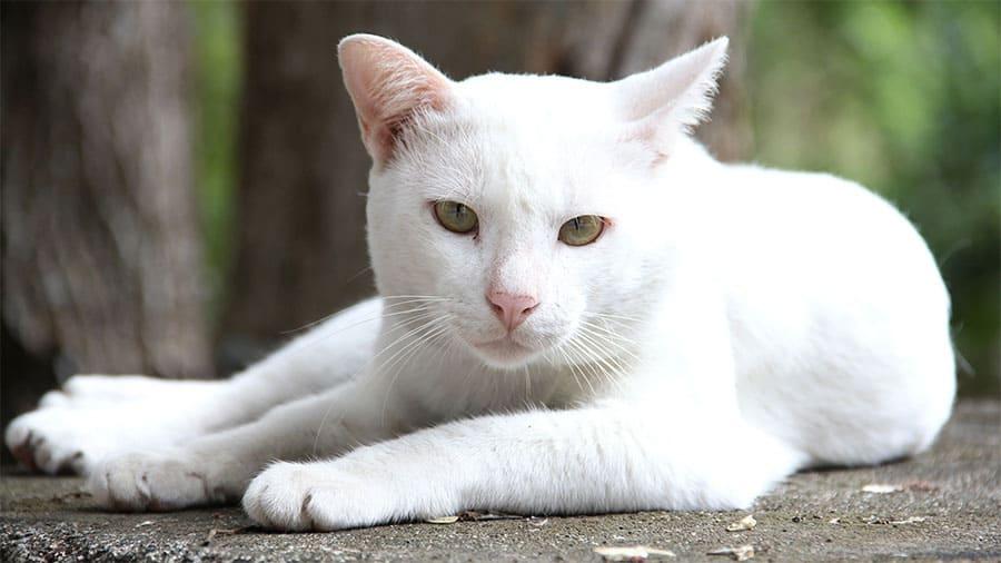 Nama kucing putih