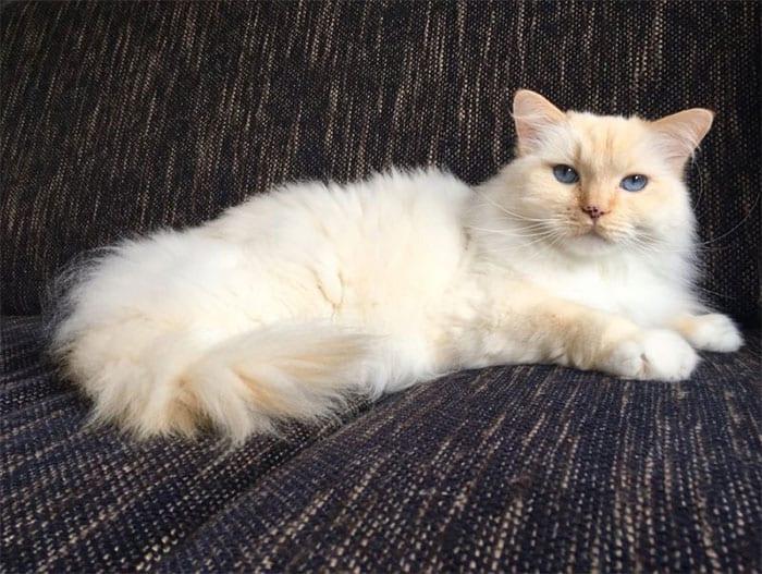Kucing Ragdoll oranye