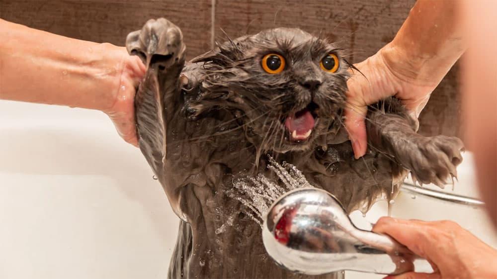 Kenapa kucing takut air
