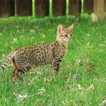 112 Jenis Kucing Peliharaan