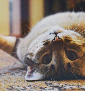 Antiseptik kucing